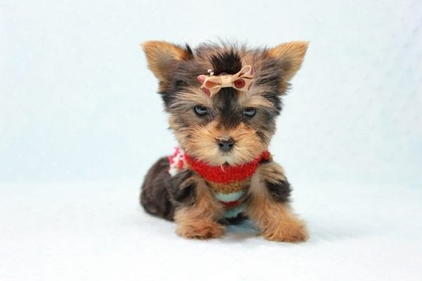 Tiberius - Micro Teacup Yorkie puppy has found a good loving home with Stephen from New York, NY 10023-11402