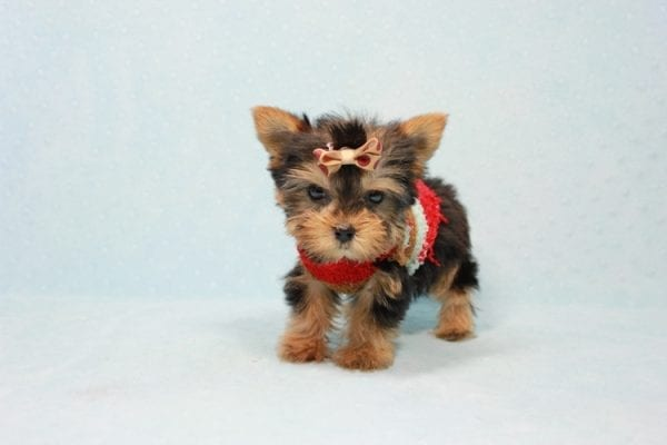 Tiberius - Micro Teacup Yorkie puppy has found a good loving home with Stephen from New York, NY 10023-11397