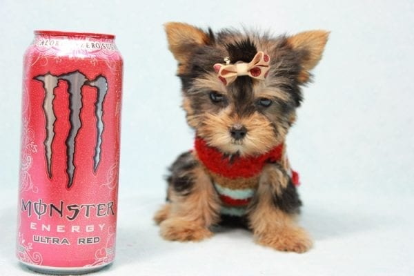 Tiberius - Micro Teacup Yorkie puppy has found a good loving home with Stephen from New York, NY 10023-11398