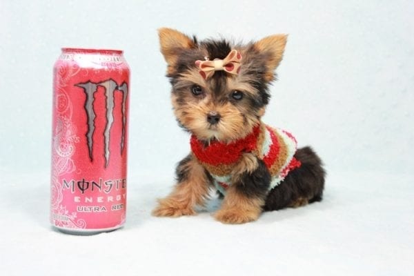 Tiberius - Micro Teacup Yorkie puppy has found a good loving home with Stephen from New York, NY 10023-0