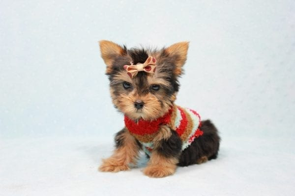Tiberius - Micro Teacup Yorkie puppy has found a good loving home with Stephen from New York, NY 10023-11406