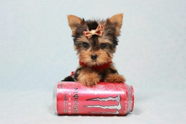 Tiberius - Micro Teacup Yorkie puppy has found a good loving home with Stephen from New York, NY 10023-11399