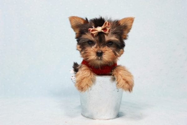 Tiberius - Micro Teacup Yorkie puppy has found a good loving home with Stephen from New York, NY 10023-11396