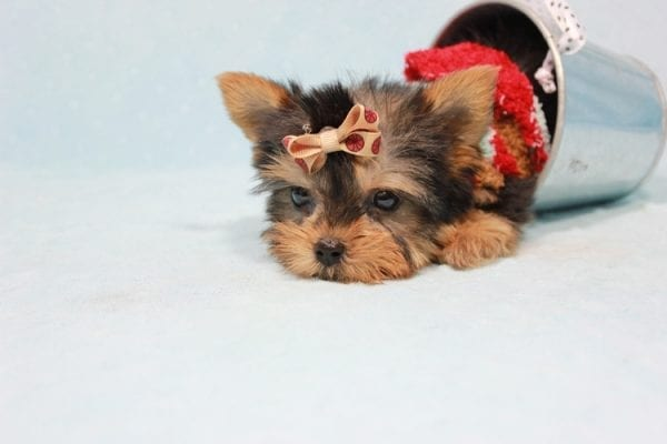Tiberius - Micro Teacup Yorkie puppy has found a good loving home with Stephen from New York, NY 10023-11401