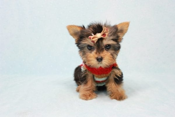 Tiberius - Micro Teacup Yorkie puppy has found a good loving home with Stephen from New York, NY 10023-11403