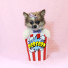 Wonder Woman - Female Pomeranian Puppy has found a good loving home with Stephen from New York, NY 10023-11724