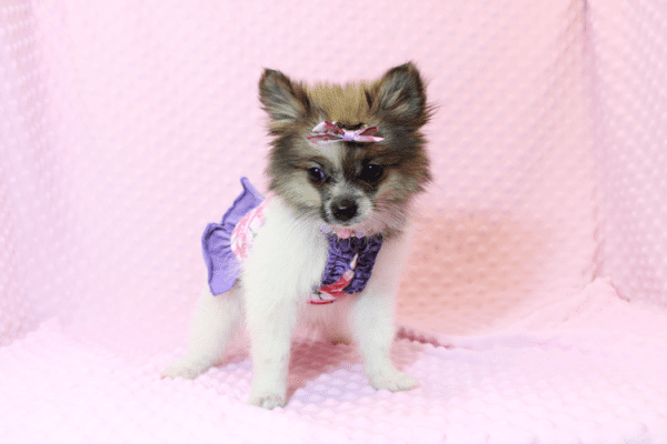 Wonder Woman - Female Pomeranian Puppy has found a good loving home with Stephen from New York, NY 10023-11722
