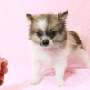 Wonder Woman - Female Pomeranian Puppy has found a good loving home with Stephen from New York, NY 10023-11728