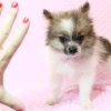 Wonder Woman - Female Pomeranian Puppy has found a good loving home with Stephen from New York, NY 10023-11725