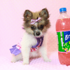 Wonder Woman - Female Pomeranian Puppy has found a good loving home with Stephen from New York, NY 10023-11726