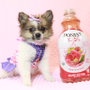 Wonder Woman - Female Pomeranian Puppy has found a good loving home with Stephen from New York, NY 10023-11723