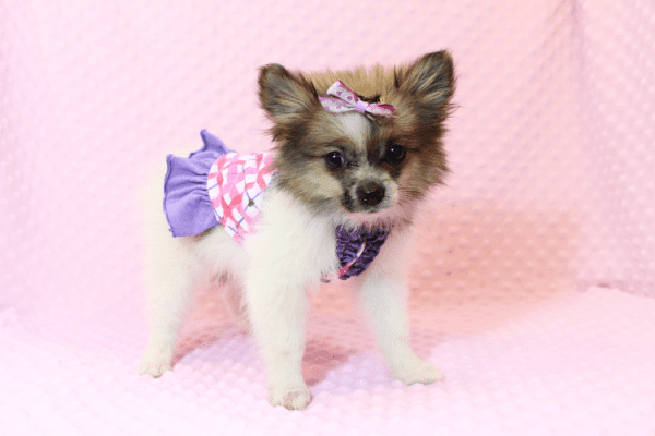 Wonder Woman - Female Pomeranian Puppy has found a good loving home with Stephen from New York, NY 10023-11721