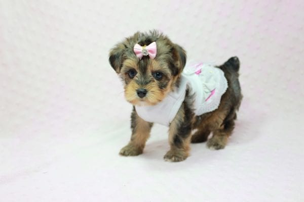 Zoe - Micro Yorkie Puppy In LA Found A new Loving Home With Lydia From Irvine CA -11442