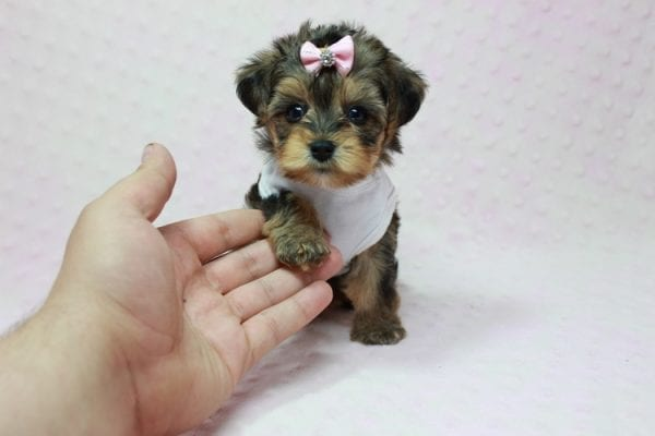 Zoe - Micro Yorkie Puppy In LA Found A new Loving Home With Lydia From Irvine CA -0