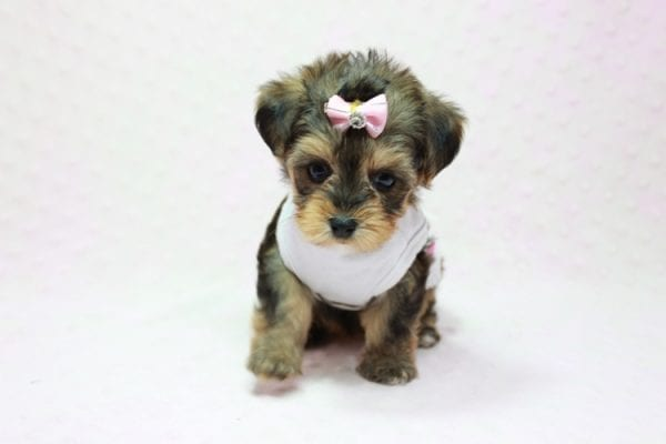 Zoe - Micro Yorkie Puppy In LA Found A new Loving Home With Lydia From Irvine CA -11444