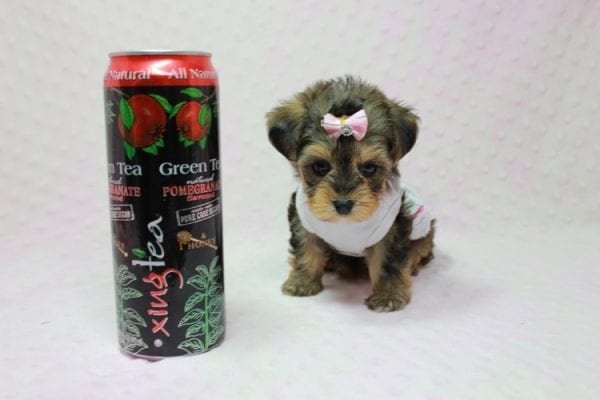 Zoe - Micro Yorkie Puppy In LA Found A new Loving Home With Lydia From Irvine CA -11445