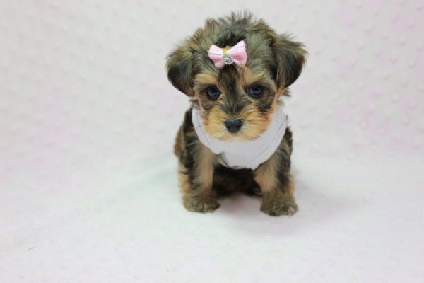 Zoe - Micro Yorkie Puppy In LA Found A new Loving Home With Lydia From Irvine CA -11446
