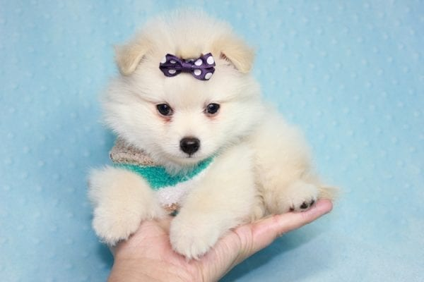 Ace - Teacup Pomeranian Puppy in CA Found A New Loving Home -12218