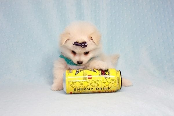 Ace - Teacup Pomeranian Puppy in CA Found A New Loving Home -12214