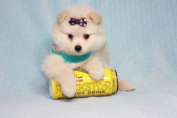 Ace - Teacup Pomeranian Puppy in CA Found A New Loving Home -12216