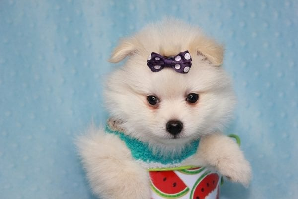 Ace - Teacup Pomeranian Puppy in CA Found A New Loving Home -12217