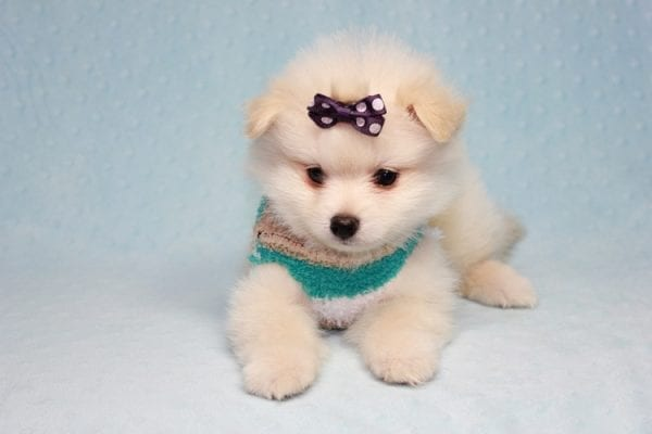 Ace - Teacup Pomeranian Puppy in CA Found A New Loving Home -12213