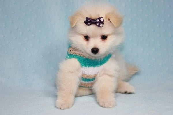 Ace - Teacup Pomeranian Puppy in CA Found A New Loving Home -12210