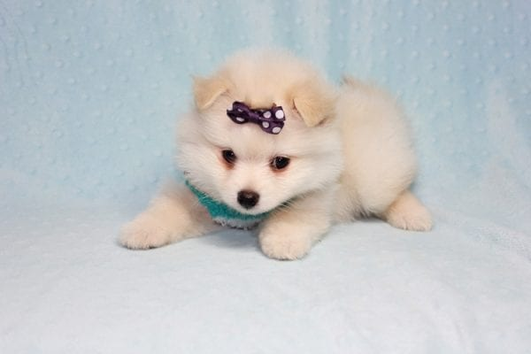 Ace - Teacup Pomeranian Puppy in CA Found A New Loving Home -12212