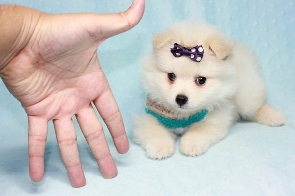 Ace - Teacup Pomeranian Puppy in CA Found A New Loving Home -12211
