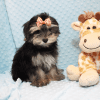 AT&T - Teacup Morkie Puppy has found a good loving home with KENYOUN FROM LAS VEGAS, NV 89108-12372