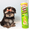 AT&T - Teacup Morkie Puppy has found a good loving home with KENYOUN FROM LAS VEGAS, NV 89108-12371