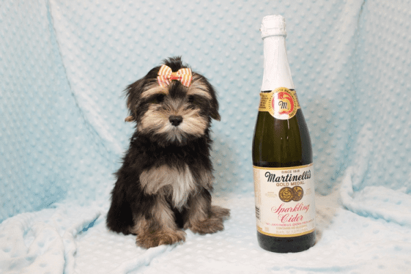 AT&T - Teacup Morkie Puppy has found a good loving home with KENYOUN FROM LAS VEGAS, NV 89108-0
