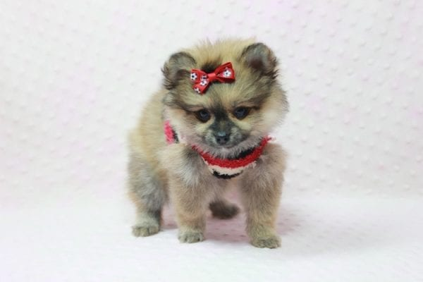 Aurora - Toy Pomeranian Puppy In L.A Found a new loving home -12185