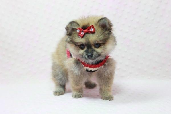 Aurora - Toy Pomeranian Puppy In L.A Found a new loving home -12185