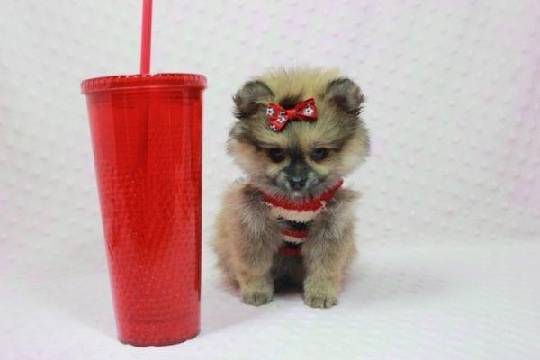 Aurora - Toy Pomeranian Puppy In L.A Found a new loving home -0