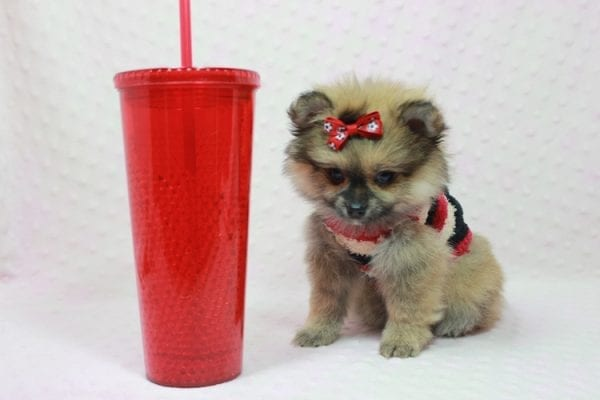 Aurora - Toy Pomeranian Puppy In L.A Found a new loving home -12193