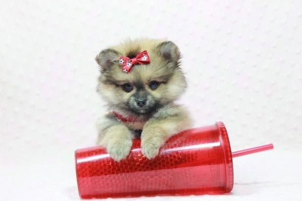 Aurora - Toy Pomeranian Puppy In L.A Found a new loving home -12186
