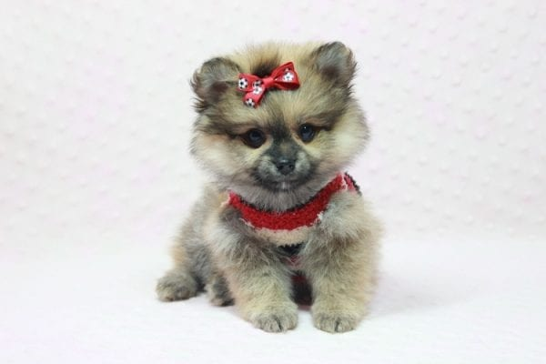 Aurora - Toy Pomeranian Puppy In L.A Found a new loving home -12188