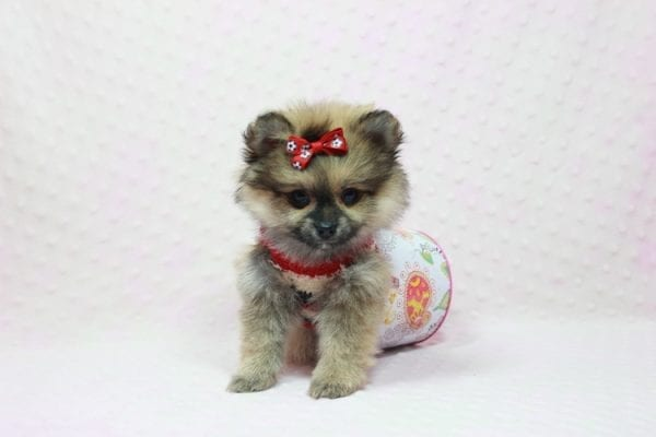 Aurora - Toy Pomeranian Puppy In L.A Found a new loving home -12192