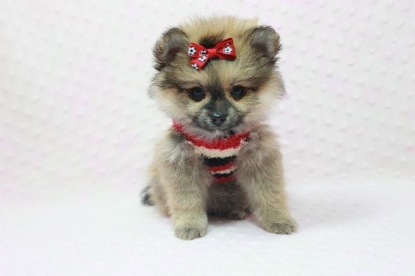 Aurora - Toy Pomeranian Puppy In L.A Found a new loving home -12191