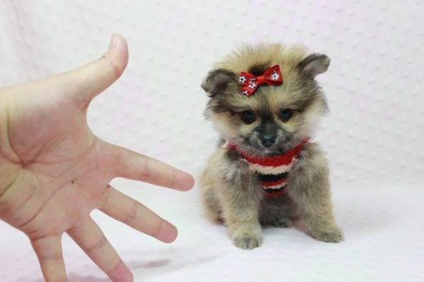 Aurora - Toy Pomeranian Puppy In L.A Found a new loving home -12189