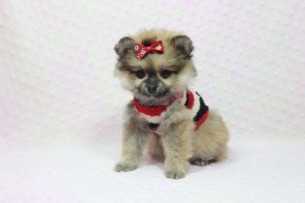 Aurora - Toy Pomeranian Puppy In L.A Found a new loving home -12187