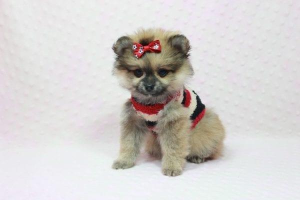 Aurora - Toy Pomeranian Puppy In L.A Found a new loving home -12187