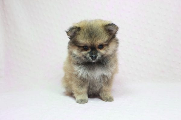 Aurora - Toy Pomeranian Puppy In L.A Found a new loving home -12194
