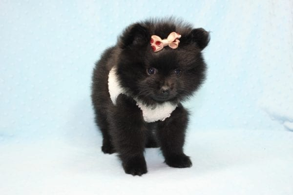 Batman - Teacup Pomeranian Puppy found his loving home with Ann in Studio City, CA-12227