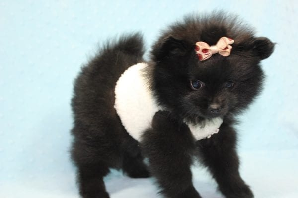 Batman - Teacup Pomeranian Puppy found his loving home with Ann in Studio City, CA-12224