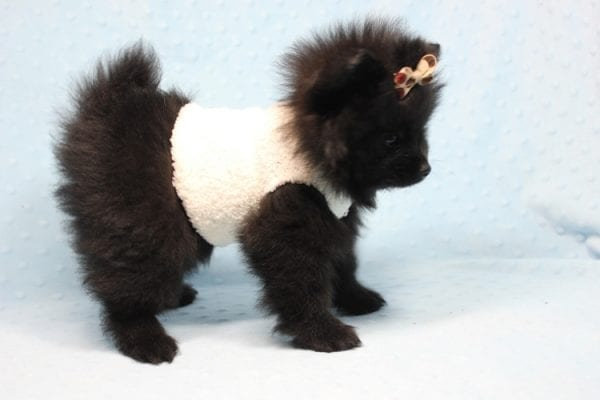 Batman - Teacup Pomeranian Puppy found his loving home with Ann in Studio City, CA-12220