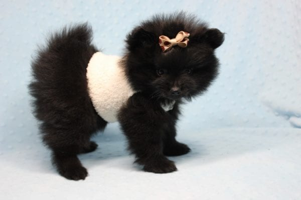Batman - Teacup Pomeranian Puppy found his loving home with Ann in Studio City, CA-12229