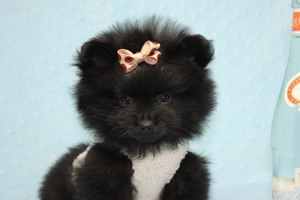 Batman - Teacup Pomeranian Puppy found his loving home with Ann in Studio City, CA-12225