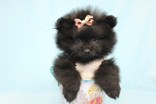 Batman - Teacup Pomeranian Puppy found his loving home with Ann in Studio City, CA-12222